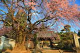 伊那三女ゆかりの桜