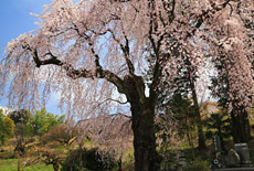 下平のしだれ桜
