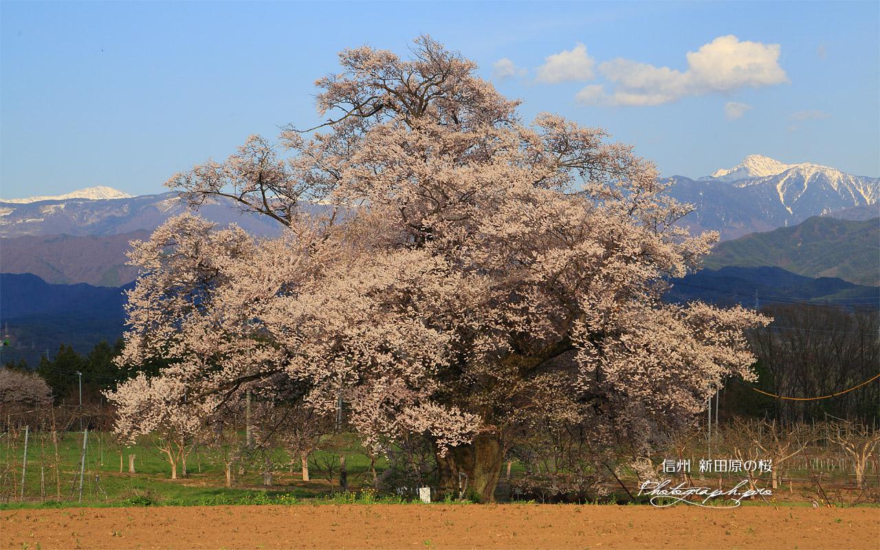 新田原の桜 壁紙