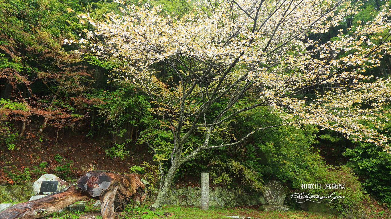 秀衡桜 壁紙