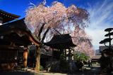 長桂寺のしだれ桜