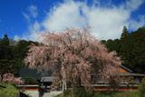 辰野町 明光寺の桜