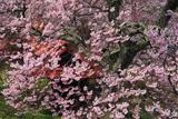 伊那市 常福寺の桜