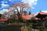 常福寺のしだれ桜