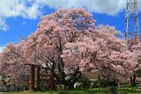 美和湖の桜
