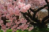 美和湖の小彼岸桜