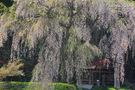 黒川天満神社の枝垂桜