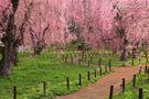 米内浄水場の桜