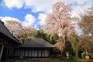 小谷・初瀬川家のシダレ桜