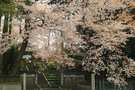 宝蔵寺の山桜