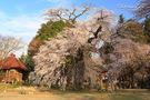 瑠璃寺の名桜