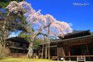 田母沢御用邸記念公園の枝垂桜