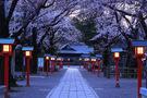 鷲宮神社の桜