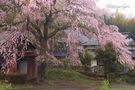 天神様のしだれ桜