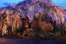 木村家のしだれ桜