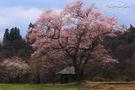 桜地蔵のエドヒガン