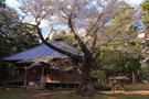 長谷寺の遮那桜