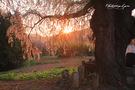 古町のしだれ桜