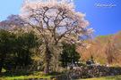 篠原家墓地のしだれ桜