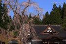龍巌寺のサクラ