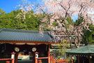 高野山の桜