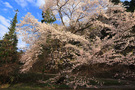 泉沢の陽気桜
