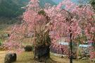祐泉寺の紅枝垂桜
