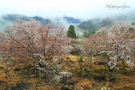立雲峡の山桜