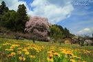中田島の桜