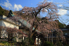 龍源院のしだれ桜
