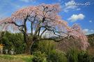 笹見平のしだれ桜