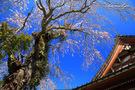 善行寺のしだれ桜