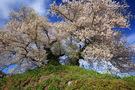 最後塚古墳の夫婦桜