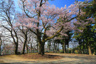 愛宕神社の千代蔵桜